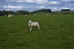 One curious sheep in a field royalty free stock photography
