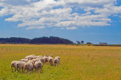 The field with the sheep. Stock Photography
