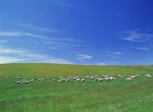 Field of Sheep, Sunny Day Royalty Free Stock Photography