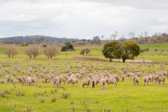 Field of Sheep Royalty Free Stock Images