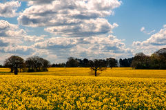 Rape seed field Stock Images