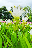 Field of siam tulip flowers Royalty Free Stock Photography