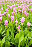Field of siam tulip flowers Stock Image