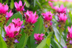 Field of Siam tulip flowers blooming in the nature garden. Royalty Free Stock Photo