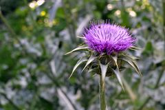 Field with Silybum marianum in bloom. In summer day, view of one flower stock photos
