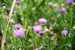 Field with Silybum marianum (Milk Thistle) close-up. Stock Photo
