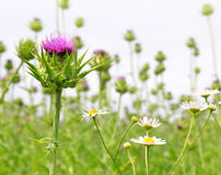 Field with Silybum marianum Royalty Free Stock Photos