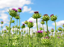 Field with Silybum marianum Stock Images