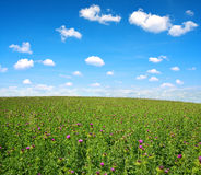Field with Silybum marianum Royalty Free Stock Photography