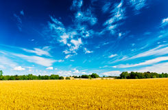 Field and sky. Wheat field and a blue sky Royalty Free Stock Image