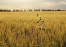 Field and sky. Blade of grass in the middle of a wheat field Royalty Free Stock Photo