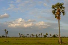 Field sky palm tree Stock Photography