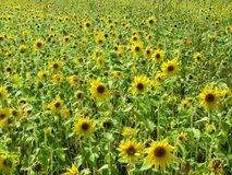 Field of small blooming sunflowers, rural landscape. Field of small blooming sunflowers stock photos