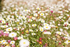Field of small daisies Royalty Free Stock Image