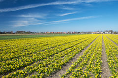 Field of small narcissus in Holland on a sunny day in early spri Stock Photos