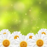 A field of small white flowers on a green blurred background. Vector illustration Stock Image