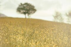 Field of Small Yellow Flowers with Tree Stock Images