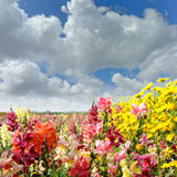 Field with snapdragon and yellow daisy flowers Stock Image
