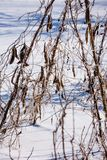 On the field in the snow, there are bean strings, pods. A cold, sunny winter day in the garden; On the field in the snow, there are bean strings, pods royalty free stock images