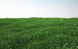 Field of soft grass, perspective view with close-up Royalty Free Stock Images