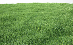 Field of soft grass, perspective view with close-up. 3d illustration Royalty Free Stock Image