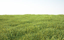 Field of soft grass, perspective view with close-up Stock Image
