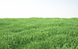 Field of soft grass, perspective view with close-up. 3d illustration Stock Image