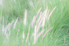 Field of soft mission grass swaying in the wind with blurred foc Royalty Free Stock Photo