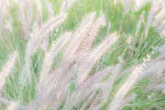 Field of soft mission grass swaying in the wind with blurred foc Stock Photography
