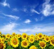 field solrosen Royaltyfri Foto