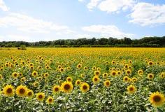 field solrosen Royaltyfri Bild