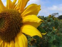 field solrosen Arkivfoto