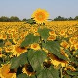 field solrosen Royaltyfria Bilder