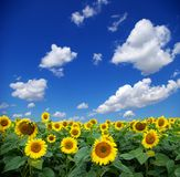 field solrosen Arkivfoton
