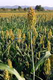 Field of sorghum. Rows of a sorghum crop growing in a field in Europe Stock Images