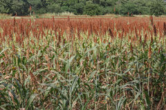 Field of Sorghum Stock Image