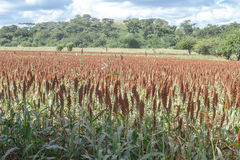 Field of sorghum beautiful landscape Stock Photography