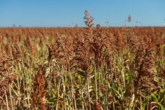 Field of sorghum Stock Photography