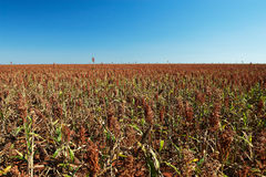 Field of sorghum. Sorghum bicolor, Mato Grosso, Brazil Stock Photos