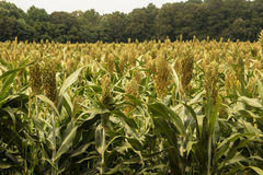 Field of Sorghum. A field of green grain sorghum with a forest background Stock Photo
