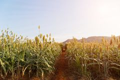 Field of Sorghum or Millet. Close up field of Sorghum or Millet an important cereal crop Stock Photography