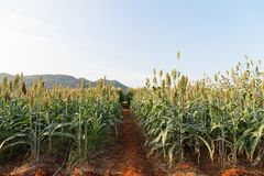 Field of Sorghum or Millet. Close up field of Sorghum or Millet an important cereal crop Stock Photos
