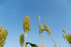 Field of Sorghum or Millet. Close up field of Sorghum or Millet an important cereal crop stock image