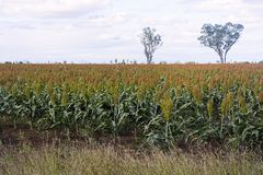 Field of sorghum or millet. Field of sorghum almost ready to harvest at Emerald, Central Queensland. This plant sorghum bicolour is also known as millet or milo royalty free stock photo