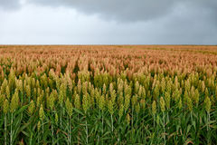 Field of sorghum Stock Images