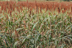 Field of Sorghum from Nicaragua Stock Image