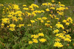 The field sow Thistle ( Sonchus arvensis) Stock Photography