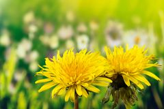 Field Sow Thistle, Sonchus arvensis, the field milk thistle, field sowthistle, perennial sow-thistle, corn sow thistle, dindle, gu. Meadow Flowers  - Field Sow Stock Photography