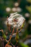 Field sow-thistle (Sonchus arvensis) Stock Images