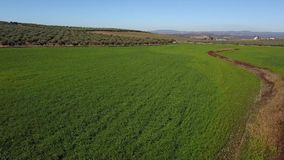 Field sowed with barley close to plantation of olive groves, Spain stock video